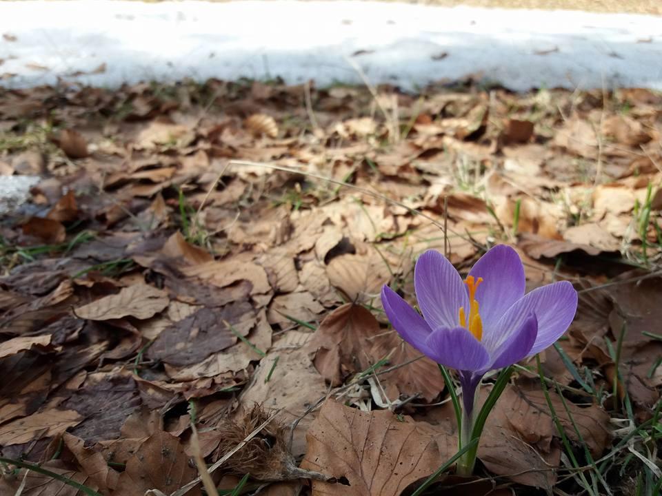 I crocus: tipici fiori Primaverili a forma di coppa1