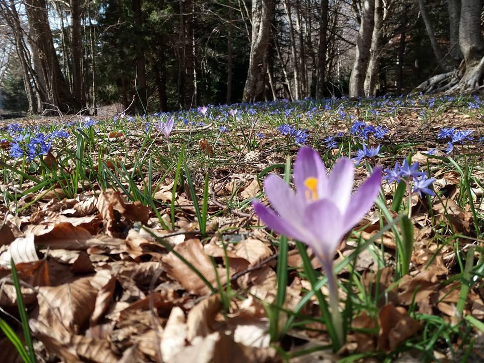 I crocus: tipici fiori Primaverili a forma di coppa2